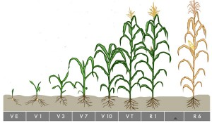 CornGrowthStages-image1